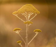 Yarrow yellow flower in nature royalty free stock photos