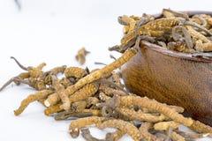 Yarsagumba Chinese paddestoel cordyceps, Chinese volksgeneeskunde 2018 stock foto