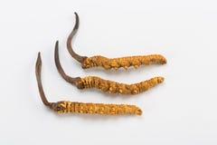 Yarsagumba Cordyceps sinesis Yartsa Gunbu喜马拉雅金子尼泊尔在白色背景中 免版税库存照片