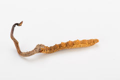 Yarsagumba Cordyceps sinesis Yartsa Gunbu himalayan gold Nepal  in white background Stock Image