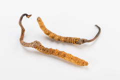 Yarsagumba Cordyceps sinesis Yartsa Gunbu himalayan gold Nepal  in white background Royalty Free Stock Photo