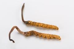 Yarsagumba Cordyceps sinesis Yartsa Gunbu himalayan gold Nepal  in white background Royalty Free Stock Photos