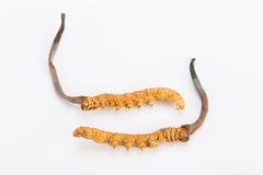 Yarsagumba Cordyceps sinesis Yartsa Gunbu himalayan gold Nepal  in white background Stock Image