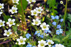 Yaskolka (Latin Cerástium) and the Forget-Me (Latin Myosótis). Yaskolka (Latin Cerástium) - Flower-saxifrage for Alpine slide in recent years and is often Stock Images