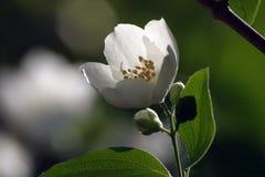 Yasmin flower Royalty Free Stock Images