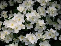 Yasmina floreciente Fotografía de archivo libre de regalías
