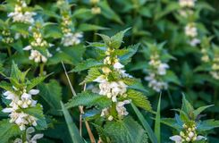Yasnotka white ,deaf nettle, closeup in spring.  royalty free stock images