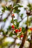 Yaupon Holly Bush Seeds und Frucht Lizenzfreies Stockfoto