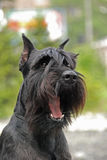 Yawing black mittel Schnauzer Stock Photo