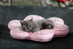 Yawing kitten Royalty Free Stock Photography