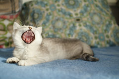 Yawing kitten Stock Photo
