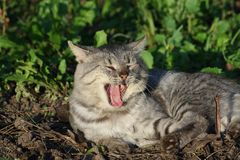 Yawn cat Royalty Free Stock Images