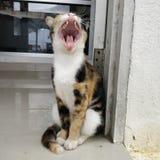 Yawn cat Stock Photo