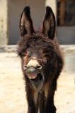 Yawn donkey Royalty Free Stock Image