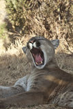 Yawn I am Tired. Mountain Lion Yawing in the Morning stock photos