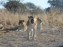 Yawn. Lioness yawning in the bush Stock Images