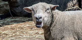 Yawn Sheep. A sheep yawns looking into the camera Royalty Free Stock Photos