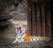 Yawn tiger Stock Image