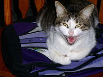 Yawn Time. A cat yawning while lying on a book bag in the kitchen chair stock photos