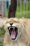 Yawner Lioness stock photo
