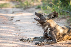 Yawning African wild dog in the Kruger National Park, South Afri Royalty Free Stock Photography