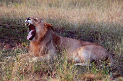 Yawning asiatic lion showing fangs Royalty Free Stock Photo