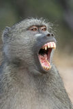 Yawning baboon stock images