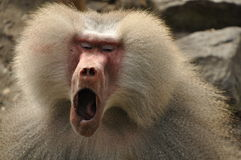 Yawning baboon. A hairy baboon opens his mouth for a big yawn stock photos