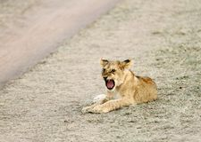A yawning baby lion Royalty Free Stock Photo