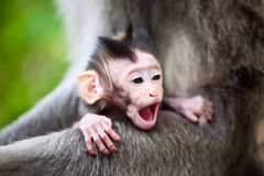 Yawning baby monkey. Cute yawning baby macaque monkey royalty free stock image