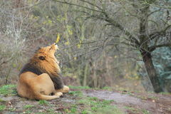 Yawning barbary lion Stock Images