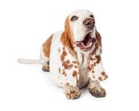 Yawning Basset Hound Dog Laying Stock Image