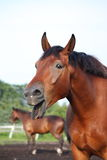 Yawning bay horse portrait in summer Royalty Free Stock Photo