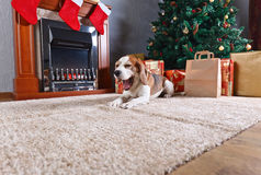 The yawning  beagle on the carpet with Christmas gifts in front Stock Image