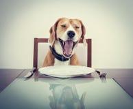 Free Yawning Beagle Dog Tired To Wait For The Waiter Stock Image - 49860591
