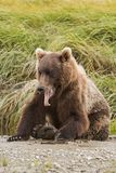 Yawning Bear Stock Photo