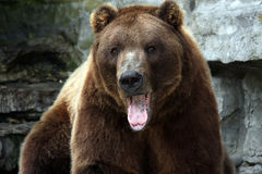 Yawning Bear. Grizzly Bear yawning and staring at the camera Royalty Free Stock Photos