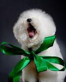 Yawning bichon frise Stock Photos