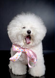 Yawning bichon frise. Picture of a sleepy bichon frise on a black background Stock Photos