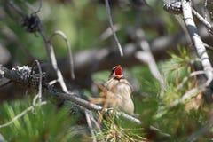 Yawning bird Stock Photo