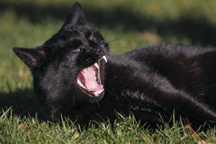 Yawning black cat Stock Photography