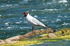 Yawning black-headed gull on stone with ooze among blue water. Small white gull Chroicocephalus ridibundus in summer plumage with open red beak royalty free stock images