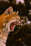 Yawning Bobcat. A close up portrait of a bobcat Yawning with wide open mouth Royalty Free Stock Photos