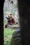Yawning brown bear from a cave Stock Photography