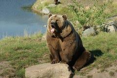 Yawning brown bear royalty free stock image