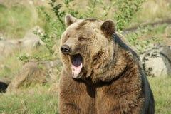 Yawning brown bear Royalty Free Stock Images
