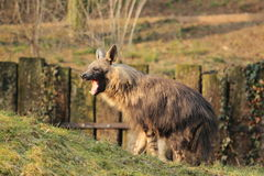 Yawning brown hyena. The yawning adult brown hyena stock image