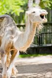 Yawning Camel Stock Photography