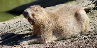 Yawning Capybara Stock Photo