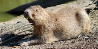 Yawning Capybara. A Yawning Capybara. Hydrochoerus hydrochaeris Stock Photo